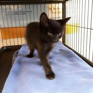 """Baby Male Cat - Domestic Short Hair: """"Baby"""""""