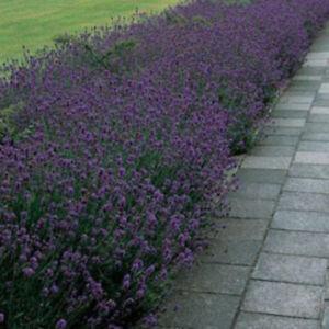 Lavender Dwarf Munstead herb plant scented bluish purple flowers summer 9cm pot
