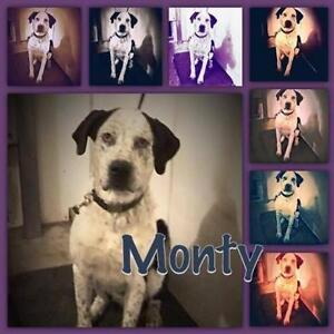 "Young Male Dog - Great Dane: ""MONTY"""