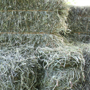 Hay first cut use for animal feed straw or bedding litter