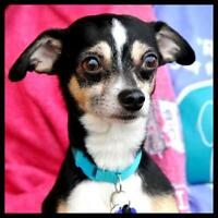 "Young Male Dog - Toy Fox Terrier-Chihuahua: ""LINKIN"""