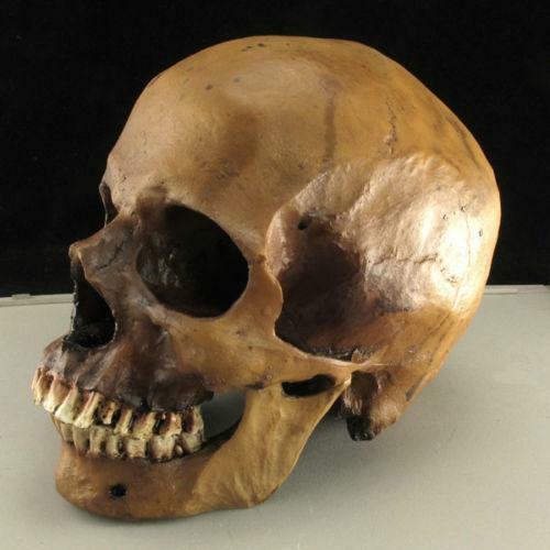 skull replica | ebay, Skeleton