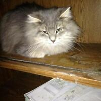 "Young Male Cat - Domestic Long Hair: ""Milo"""