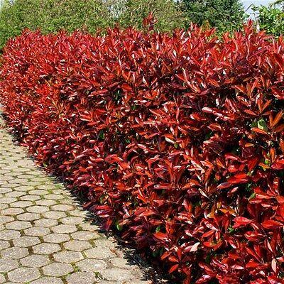 20 Photinia Red Robin Hedging Plants 20-30cm Bushy Evergreen Hedge Shrubs