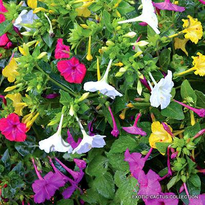 Four Oclock Mix (MIRABILIS MIX jalapa four oclock flower caudex succulent flowering seed 15)