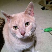 "Adult Male Cat - Domestic Short Hair: ""Peaches"""