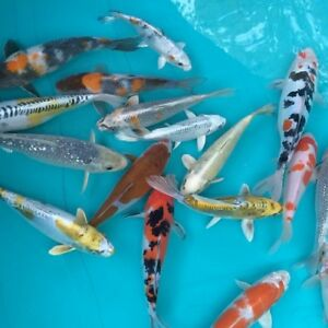 Koi Fish Available for Shipping