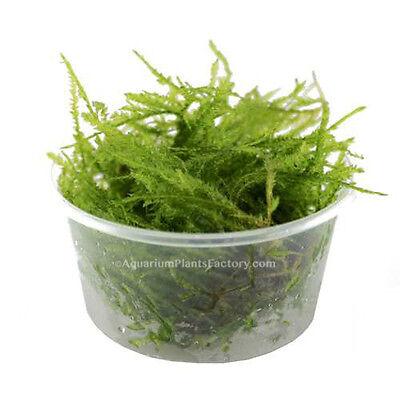 Java Moss Vesicularia dubyana Live Aquarium Plants Fern Fish Tank BUY2GET1FREE*