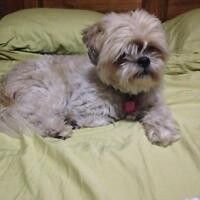 "Adult Male Dog - Shih Tzu: ""Benji"""