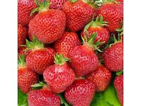 5 Bare root mixed variety strawberry plants. Good sizes. whitechapel
