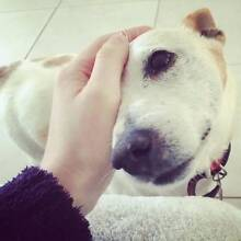 Jack Russell Terrier X 'Turbo' - Hunter Animal Rescue Cessnock Cessnock Area Preview