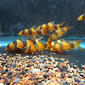 CHUNKY CLOWN LOACH TROPICAL FISH