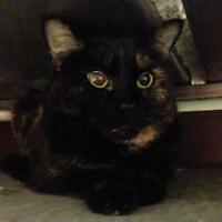 "Senior Female Cat - Domestic Short Hair: ""Glitter"""