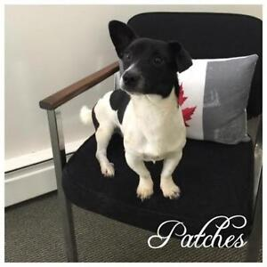 """Adult Male Dog - Jack Russell Terrier-Dachshund: """"Patches"""""""