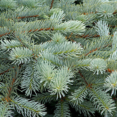 45 x Blue Spruce Trees Sapling Seedling 10-20cm (Picea pungens)
