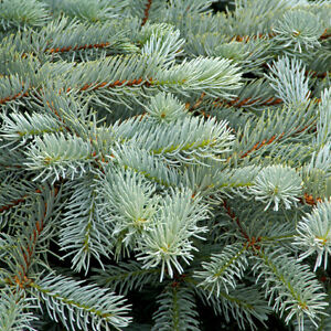 15 x Blue Spruce Trees Sapling Seedling 10-20cm (Picea pungens)