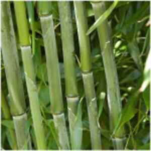phyllostachys bissetii bambus ebay. Black Bedroom Furniture Sets. Home Design Ideas