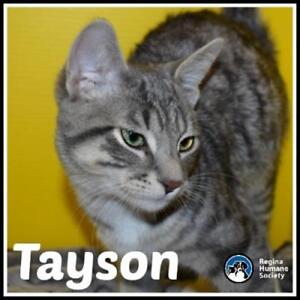 "Baby Male Cat - Domestic Short Hair: ""Tayson*"""