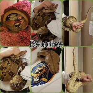 "Adult Female Scales, Fins & Other - Boa Constrictor: ""Beatrice"""