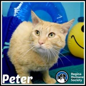 """Young Male Cat - Domestic Short Hair: """"Peter"""""""