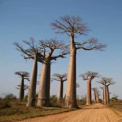 Adansonia Madagascariensis Seeds - Baobab Tree - Excellent Bonsai - 5 Seeds Baobab Tree Seeds