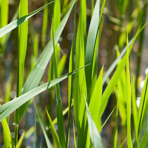 15 x Reeds 10-20cm Pond Plants Reed Bed Marginal Plants (Phragmites australis)