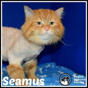 "Adult Male Cat - Domestic Long Hair: ""Seamus*"""
