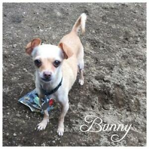 "Adult Female Dog - Chihuahua: ""Bunny"""