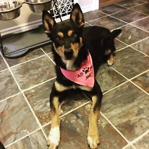 """Adult Female Dog - Husky-Shepherd: """"Nix"""""""