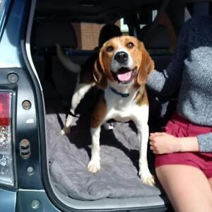 """Young Female Dog - Beagle: """"Lucy, <34 lbs"""""""