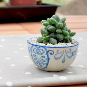 2 X Pickle Cactus/Delosperma echinatum/ unrooted cutting 雷童 Taree Greater Taree Area Preview