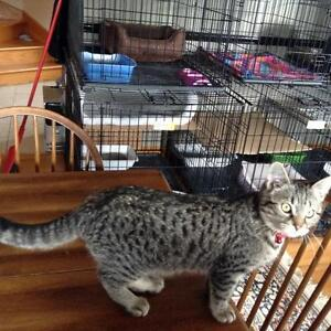 "Adult Male Cat - Tabby - Grey: ""Ziggy"""