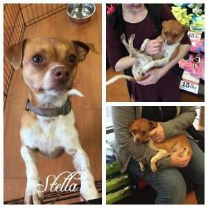 "Adult Female Dog - Pug-Rat Terrier: ""Stella"""