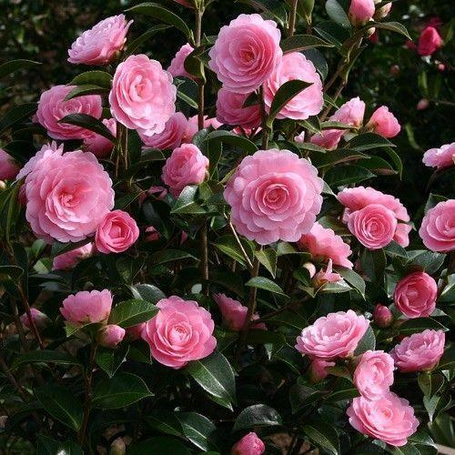 Mountain Camellia - Tree Directory
