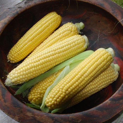 Vegetable Sweetcorn F1 Earlibird Supersweet variety 60 seeds