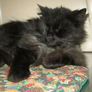 "Adult Male Cat - Domestic Medium Hair-black: ""Nikkie"""