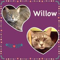 "Adult Female Cat - Tabby - Grey: ""Willow"""