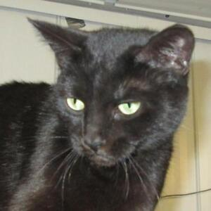 "Young Female Cat - Domestic Short Hair-black: ""Minie"""