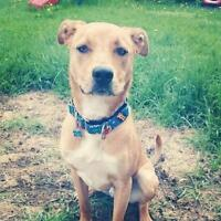 "Young Male Dog - Boxer: ""Mack"""