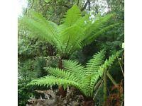 WANTED - dead tree ferns