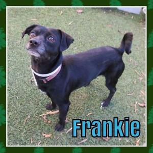 """Young Male Dog - Chihuahua: """"Frankie"""""""