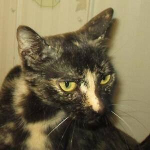 "Young Female Cat - Domestic Short Hair: ""Mindy"""