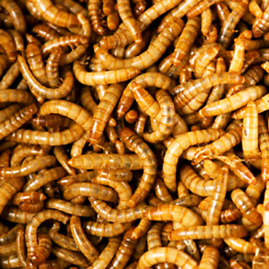 Mealworms!