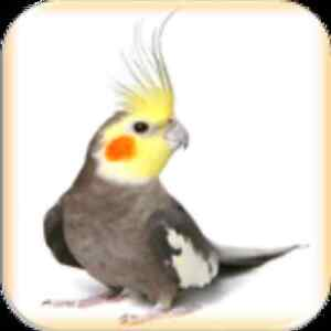 Need a Good home for a cockatiel?