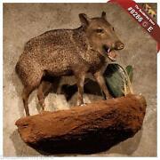 Taxidermy Boar
