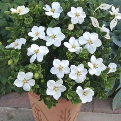 5 Cape Jasmine Seeds Rare Tropical Fragrant Flower While Perennial Plant Seeds - Jasmine Flower Plant