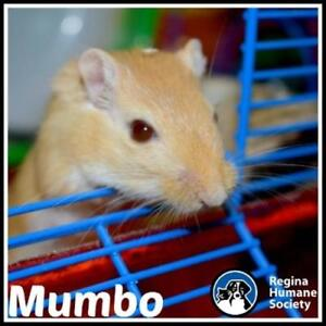 "Adult Male Small & Furry - Gerbil: ""Mumbo*"""