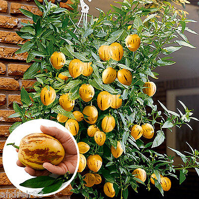 Seeds of Pepino Melon pear or sweet cucumber Exotic Пепино 4 seeds Farmer's idea (Cucumber Ideas)