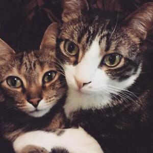 """Adult Female Cat - Tabby - Brown: """"Stella and Tumble"""" London Ontario image 3"""