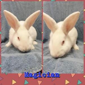 "Young Male Rabbit - New Zealand-American: ""Magician"""